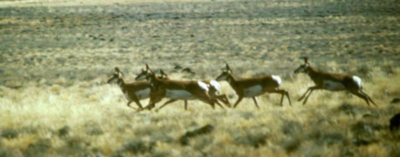 Pronghorn_antelope_herd